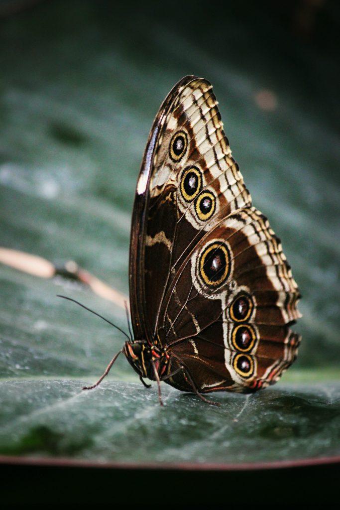 Está clasificada como En Peligro de extinción, en la Lista Roja de la UICN y figura en el Apéndice I de CITES. Siendo una de las mariposas más bellas del mundo, la mariposa alas de pájaro, es sumamente atractiva para los coleccionistas. El alto valor de esta rara especie ha provocado que la mariposa sea capturada en grandes cantidades. Por el descenso dramático que sufrió en 1966, el Gobierno de Papúa, Nueva Guinea dio protección legal a la mariposa de alas de pájaro. Por lo tanto, el comercio de esta mariposa se ha reducido algo, pero la captura ilegal continúa amenazando a la especie. En la actualidad la mayor amenaza que enfrenta es la pérdida de su hábitat en bosques pluviales. Históricamente los bosques fueron talados para la agricultura de subsistencia y la explotación forestal y grandes extensiones fueron destruidas por la erupción volcánica del Monte Lamington en 1951. En la actualidad, la causa principal de la pérdida de bosques se debe a la expansión de la industria del aceite de palma, agravado por el desarrollo de las plantaciones de caucho y cacao.