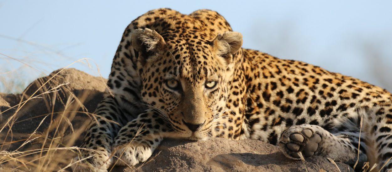 Jaguares – Majestuosa Especie En Posible Riesgo